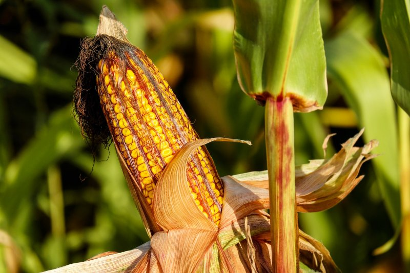 upload/newsy/2546/corn-on-the-cob-1690387-1920_medium.jpg
