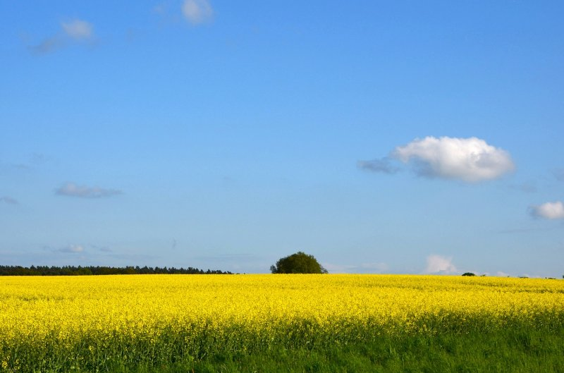 upload/newsy/2745/field-of-rapeseeds-1196496-1280_medium.jpg
