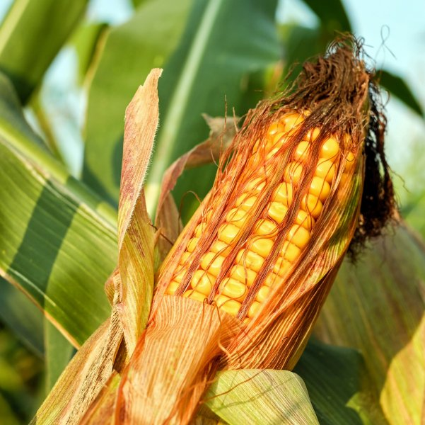upload/newsy/2867/corn-on-the-cob-2941068-1280_medium.jpg