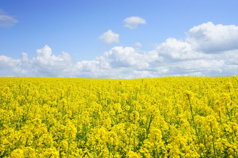 upload/newsy/3047/field-of-rapeseeds-474558-1280_medium.jpg