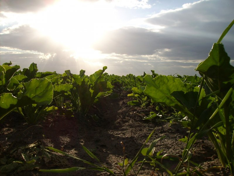 upload/newsy/3051/sunshine-over-sugar-beets-1191049-1280x960_medium.jpg