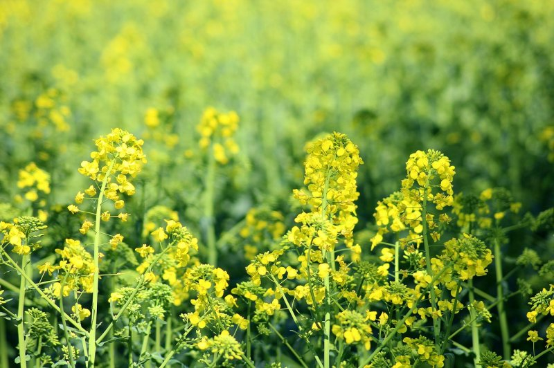 upload/newsy/3106/rapeseed-3359319-1280_medium.jpg