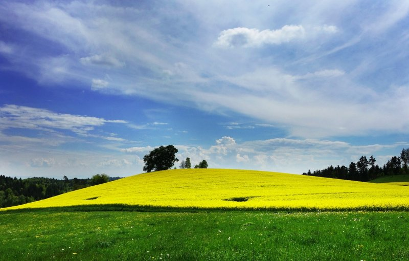 upload/newsy/3107/field-of-rapeseeds-502972-1280_medium.jpg