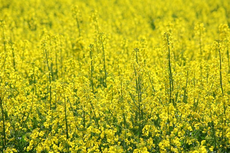 upload/newsy/3151/rapeseed-3359316-1280_medium.jpg