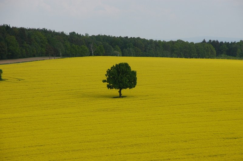 upload/newsy/3275/field-of-rapeseeds-1094849-1280_medium.jpg