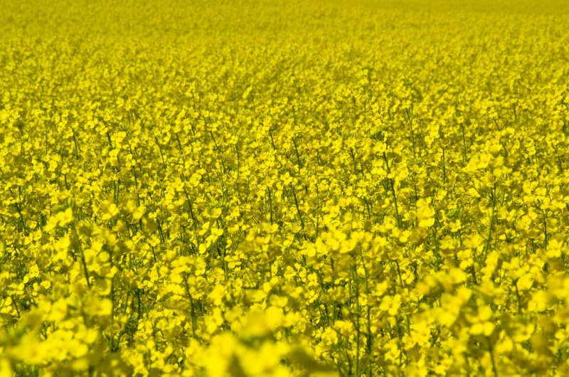upload/newsy/3319/canola-747570-1280_medium.jpg