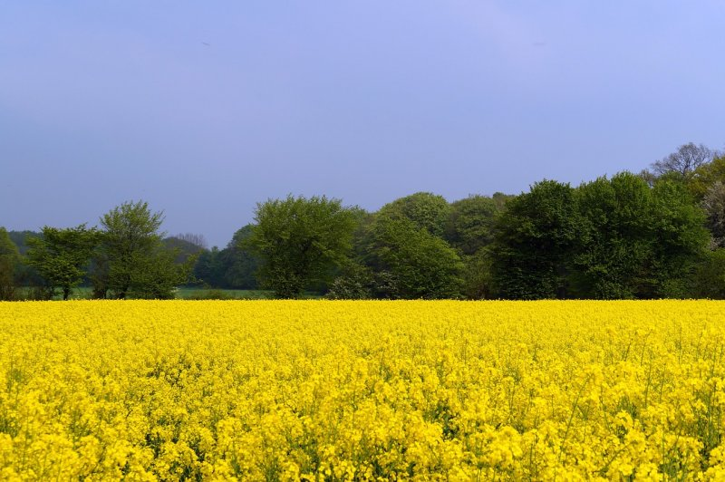 upload/newsy/3335/field-of-rapeseeds-332515-1280_medium.jpg