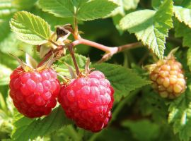 upload/newsy/3449/berries-of-a-raspberry-1700485-1280_nmedium.jpg