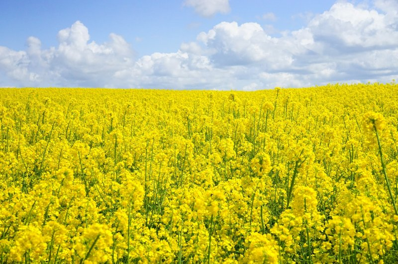 upload/newsy/3450/field-of-rapeseeds-474557-1280_medium.jpg