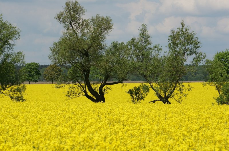 upload/newsy/3555/rapeseed-593838-1280_medium.jpg
