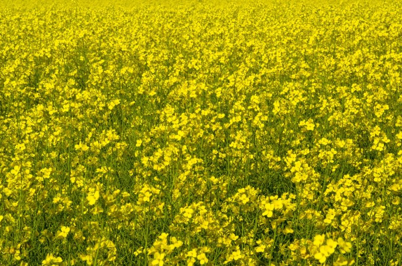 upload/newsy/3671/canola-747572-1280_medium.jpg