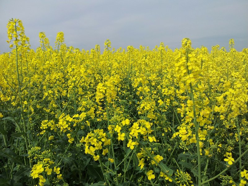 upload/newsy/3687/field-of-rapeseeds-114041-1280_medium.jpg