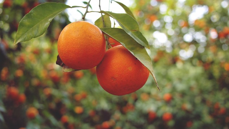 upload/newsy/3694/oranges-926274-1280_medium.jpg