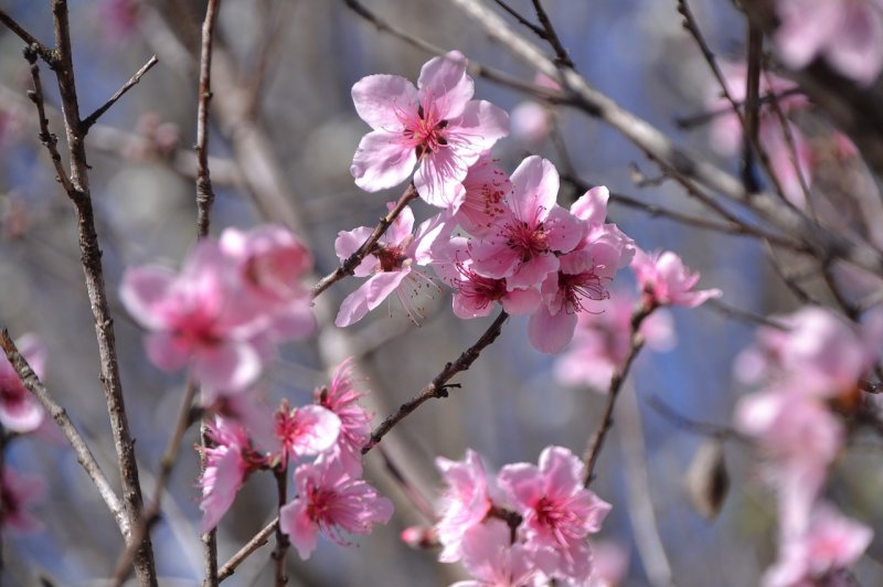 upload/newsy/3700/peach-blossoms-2112329-1280_medium.jpg