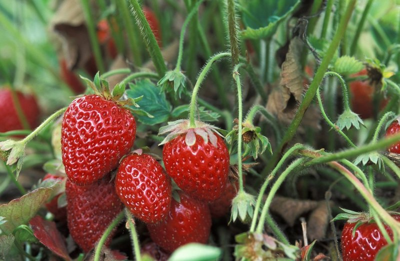 upload/newsy/3704/fresh-strawberries-1813412-1280_medium.jpg