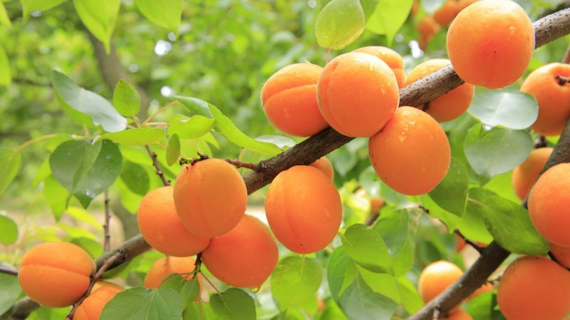 upload/newsy/3705/apricots-824626-1280_medium.jpg