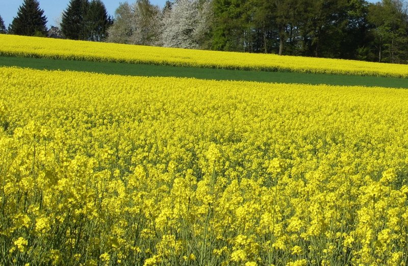upload/newsy/3713/field-of-rapeseeds-2239184-1280_medium.jpg
