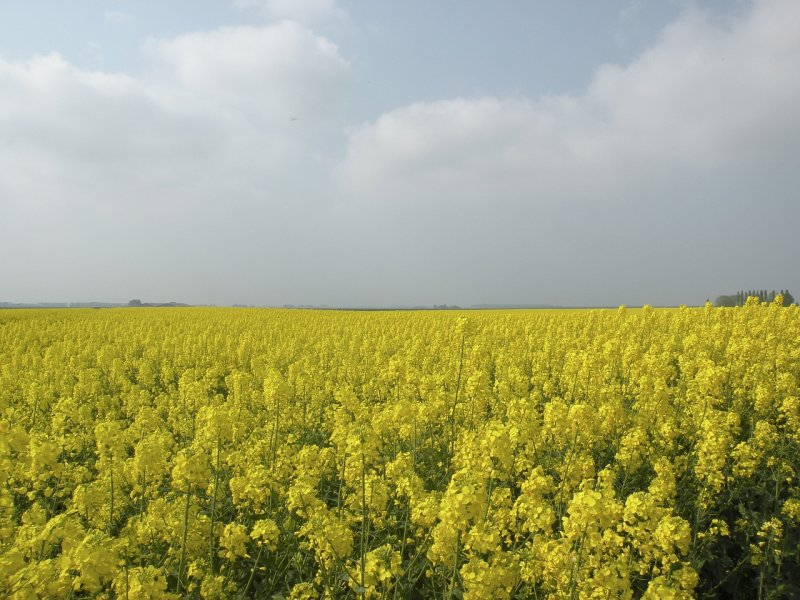 upload/newsy/3717/rapeseed-field-586000-1280_medium.jpg