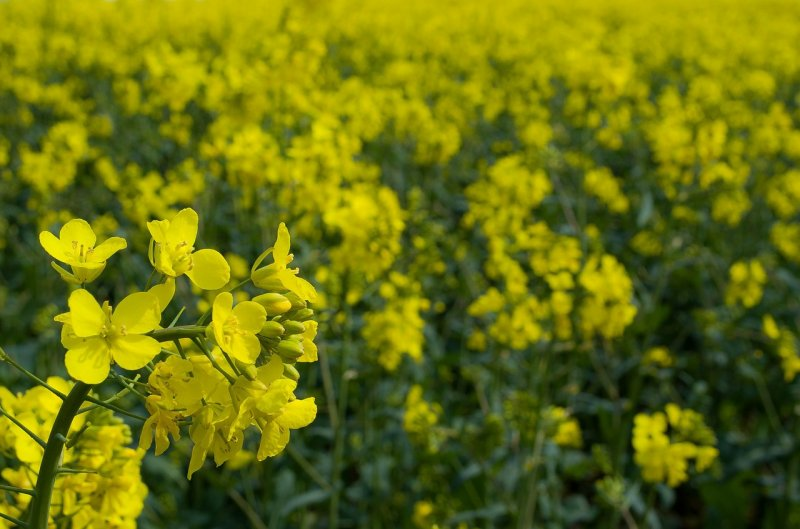 upload/newsy/3739/canola-70793-1280_medium.jpg
