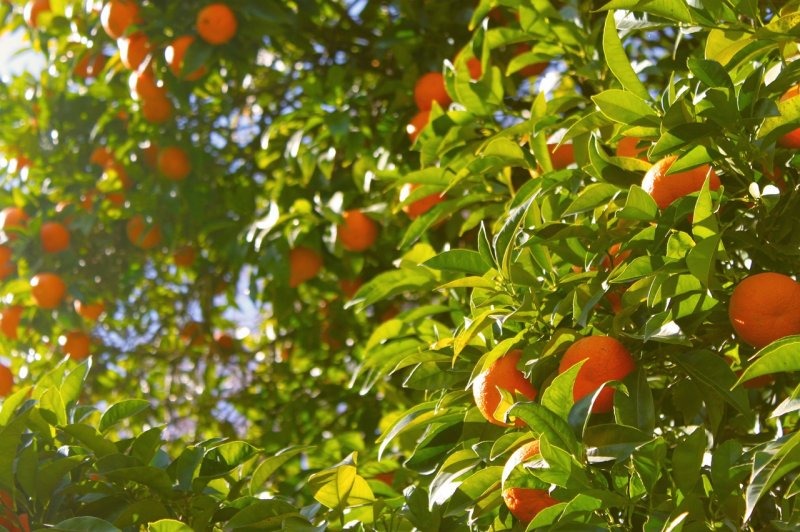 upload/newsy/3777/orange-tree-1149584-1280_medium.jpg