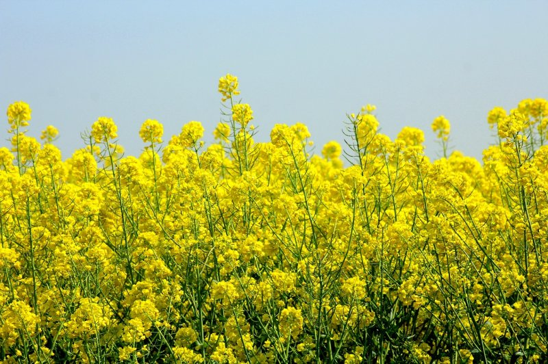 upload/newsy/3795/rapeseed-4179168-1280_medium.jpg