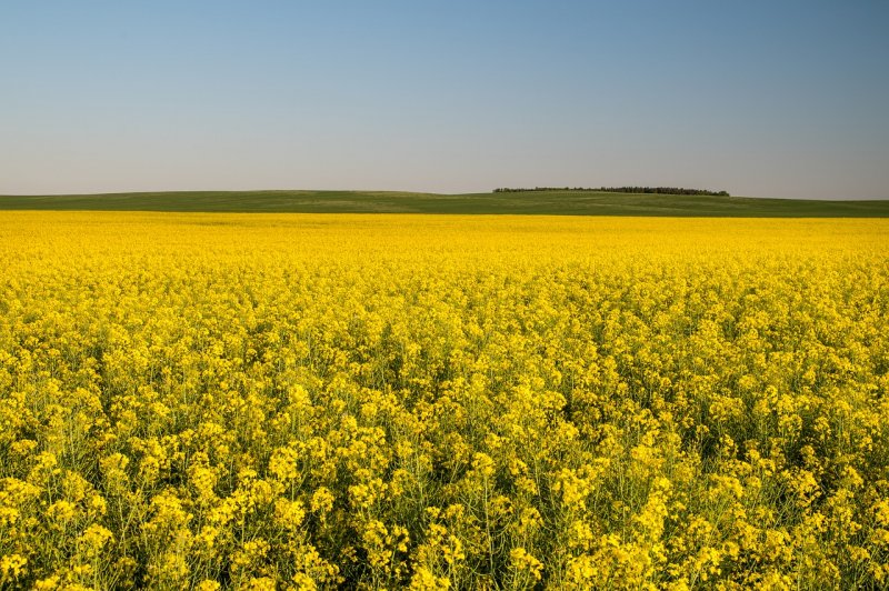 upload/newsy/3907/canola-field-3907082-1280_medium.jpg