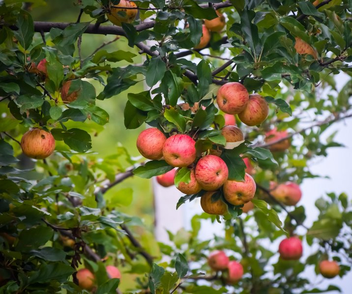 upload/newsy/3910/kashmiri-apples-4396952-1280_medium.jpg