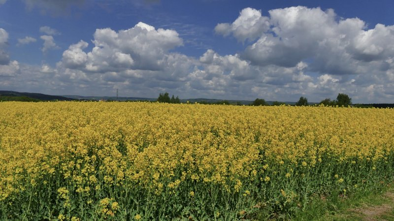 upload/newsy/3997/rapeseed-4199600-1280_medium.jpg
