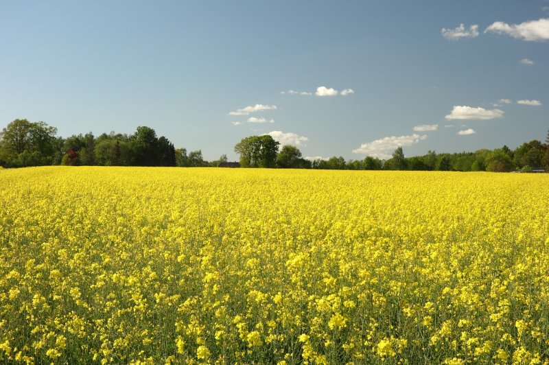 upload/newsy/4004/field-of-rapeseeds-4474455-1280_medium.jpg