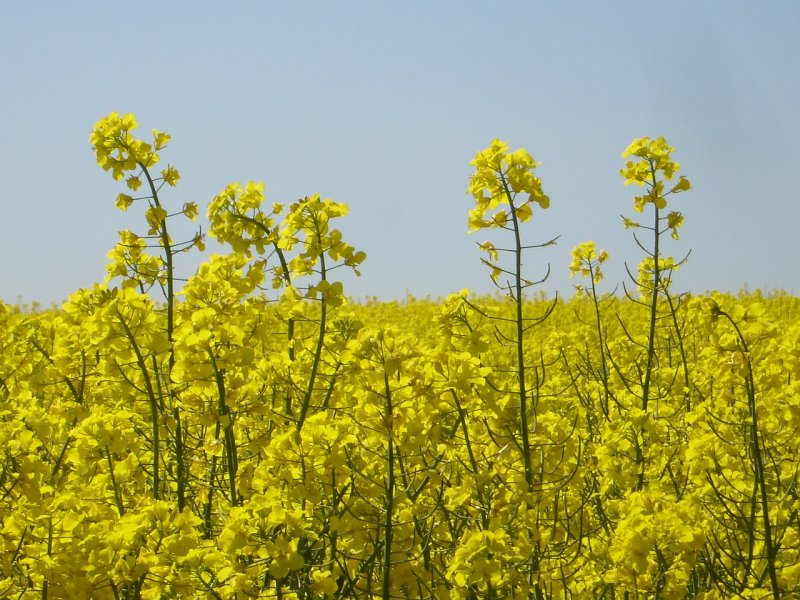 upload/newsy/4221/oilseed-rape-4122-1280_medium.jpg