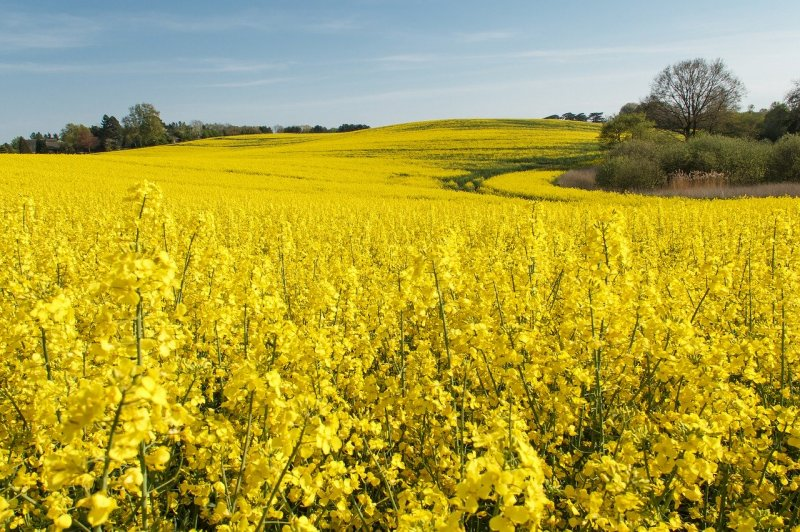 upload/newsy/4233/field-of-rapeseeds-4731622-1280_medium.jpg