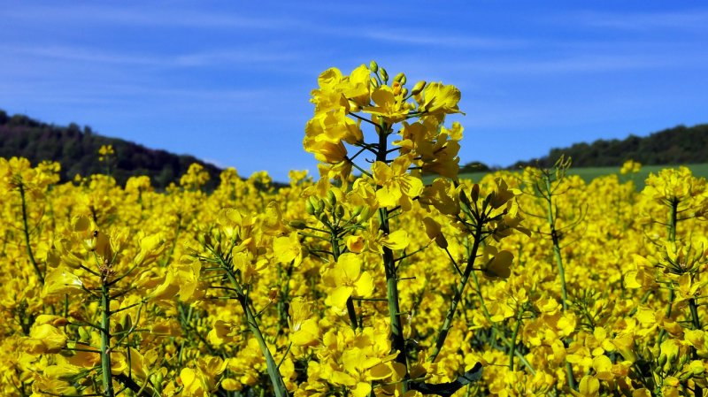 upload/newsy/4306/flowering-rapeseed-4203489-1280_medium.jpg