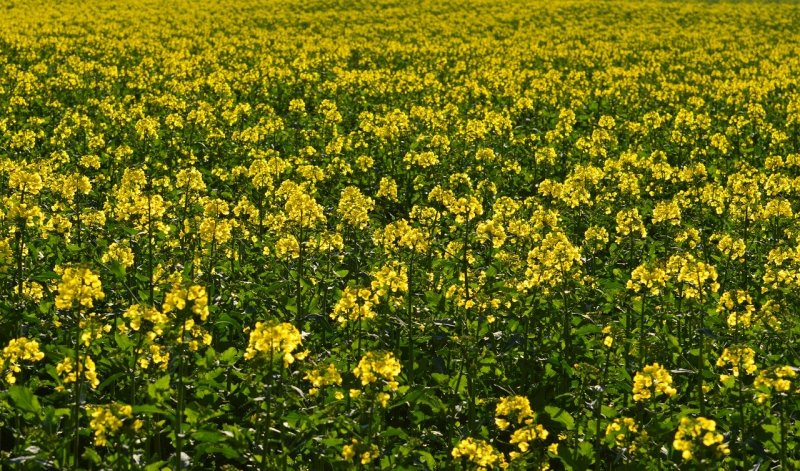 upload/newsy/4505/oilseed-rape-1325795-1280_medium.jpg