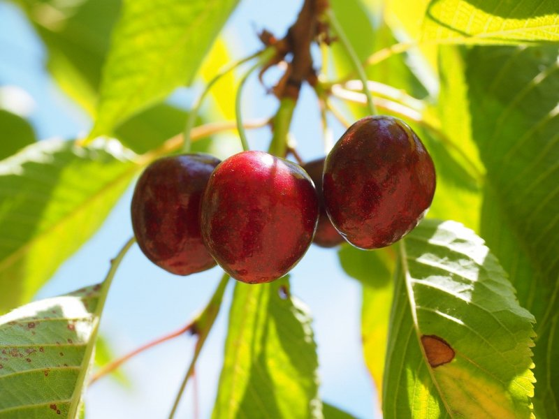 upload/newsy/4523/cherries-592255-1280_medium.jpg