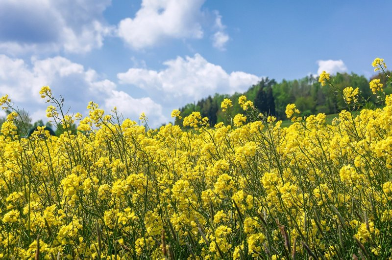 upload/newsy/4527/oilseed-rape-5191963-1280_medium.jpg