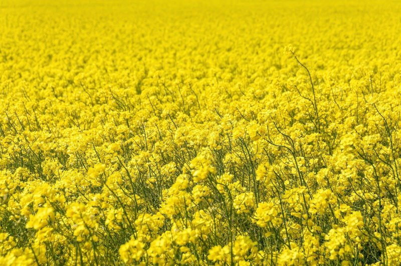 upload/newsy/4534/oilseed-rape-5187563-1280_medium.jpg