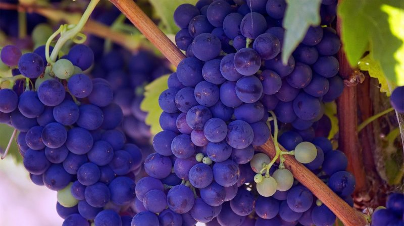 upload/newsy/4554/grapes-690977-1280_medium.jpg