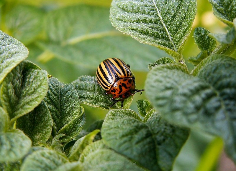 upload/newsy/4578/colorado-potato-beetle-582966-1280_medium.jpg