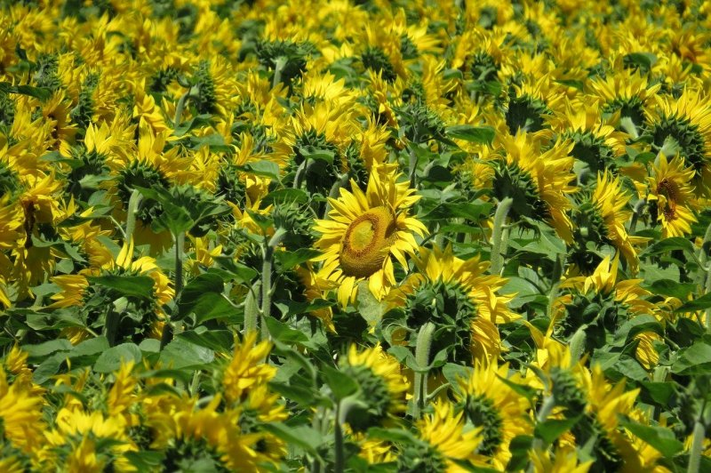 upload/newsy/4595/sunflower-field-3512655-1280_medium.jpg