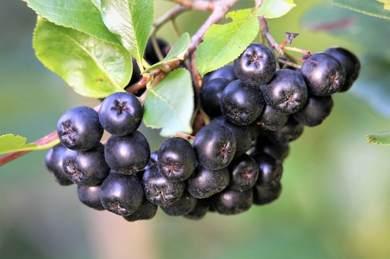 upload/newsy/4672/aronia-berries-5442465-1280_medium.jpg