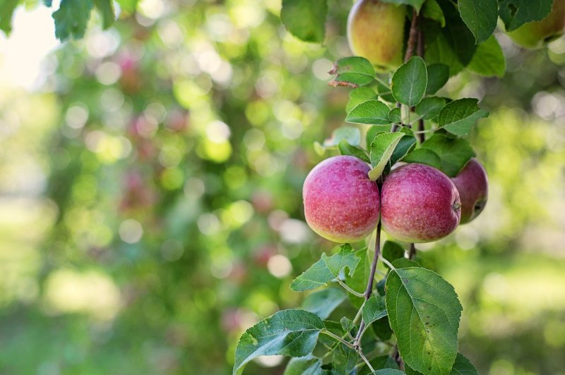 upload/newsy/4693/apples-in-tree-905095-1280_medium.jpg