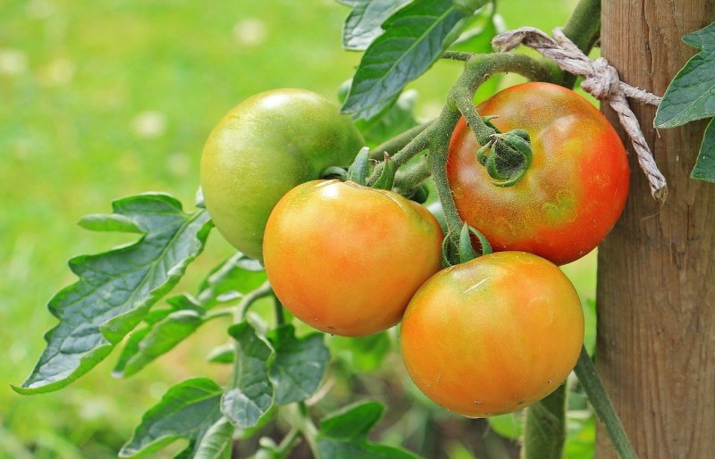 upload/newsy/4727/tomatoes-1539503-1280_medium.jpg
