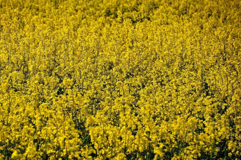 upload/newsy/4732/oilseed-rape-5011041-1280_medium.jpg