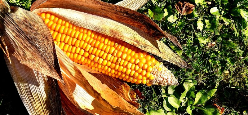upload/newsy/4907/corn-on-the-cob-2204702-1280_medium.jpg