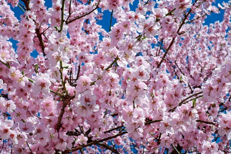 upload/newsy/5101/japanese-cherry-trees-2168858-1280_medium.jpg
