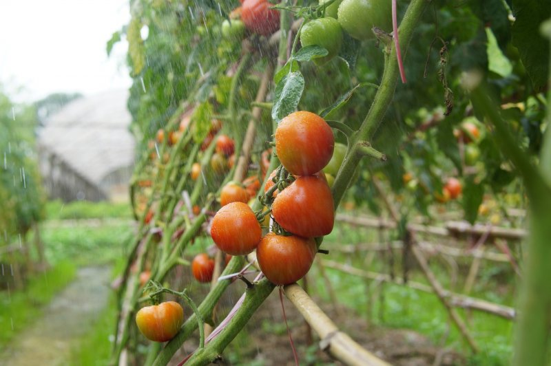 upload/newsy/5190/tomatoes-5561797-1280_medium.jpg